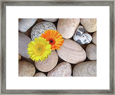 Happy Summer Memories - Sunshine Daisies And Pebbles On The Beach Framed Print