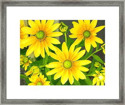 Happy Yellow Summer Cone Flowers In The Garden Framed Print