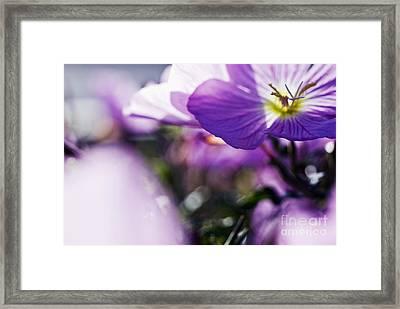 Hardy Geranium Framed Print