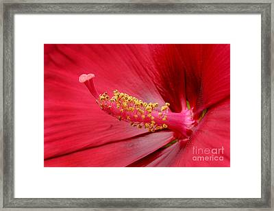Hardy Hibiscus Framed Print by Jeannie Burleson