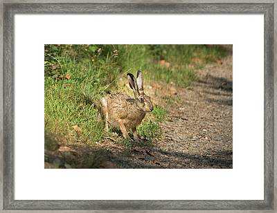 Hare In The Woods Framed Print
