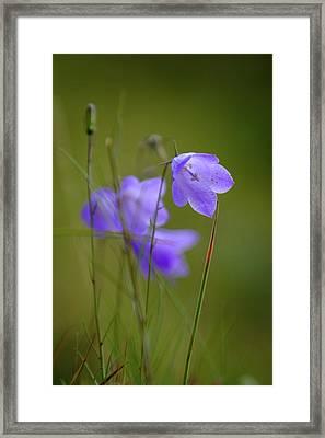 Harebell Framed Print