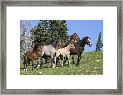 Harem Of Mustangs Framed Print by Jean-Louis Klein & Marie-Luce Hubert