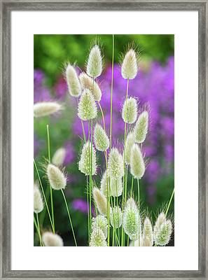 Hare's Tail Grass Framed Print