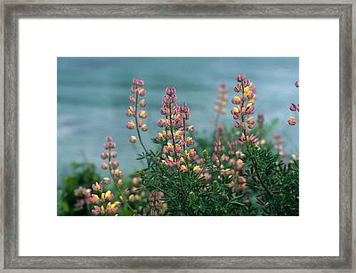 Harlequins In Harmony Framed Print by Kathy Yates