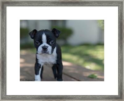 Harley As A Puppy Framed Print by Lora Lee Chapman