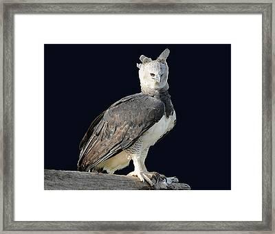 Harpy Eagle Framed Print