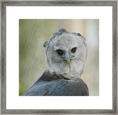 Harpy Framed Print
