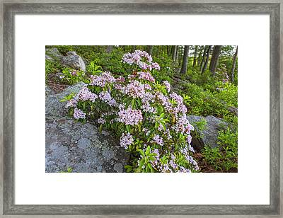 Harriman Pink And White Mountain Laurel Framed Print