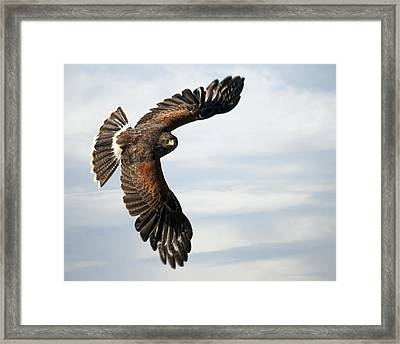 Harris Hawk 2 Framed Print by Wade Aiken