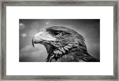 Harris Hawk  Black And White Framed Print