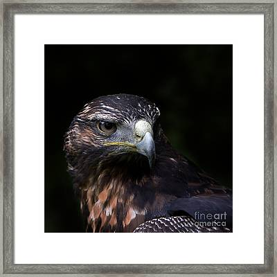 Harris Hawk Framed Print