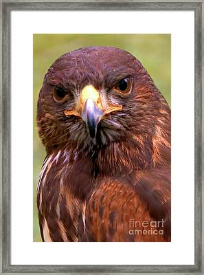 Harris Hawk Portriat Framed Print by Stephen Melia