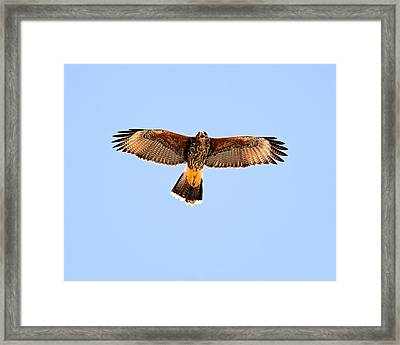Framed Print featuring the photograph Harris's Hawk H36 by Mark Myhaver