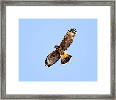 Framed Print featuring the photograph Harris's Hawk H37 by Mark Myhaver