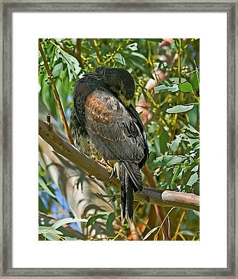 Framed Print featuring the photograph Harris's Preening V09 by Mark Myhaver