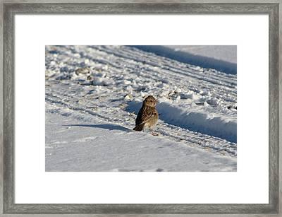 Harris's Sparrow Framed Print