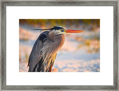 Harry The Heron With Plumage Close-up Framed Print