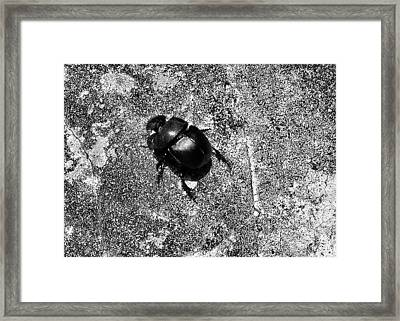 Harsh Life Black White Life Is Dung Beetle Card Framed Print by Kathy Daxon