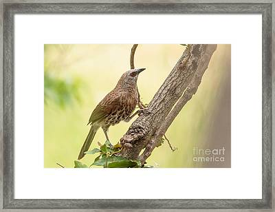 Framed Print featuring the photograph Hartlaub's Babbler - Craterope De Hartlaub - Turdoides Hartlaubii by Nature and Wildlife Photography