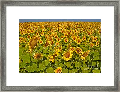 Harvest Gold Framed Print
