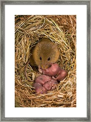 Harvest Mouse Cleaning Pups Framed Print by Jean-Louis Klein & Marie-Luce Hubert