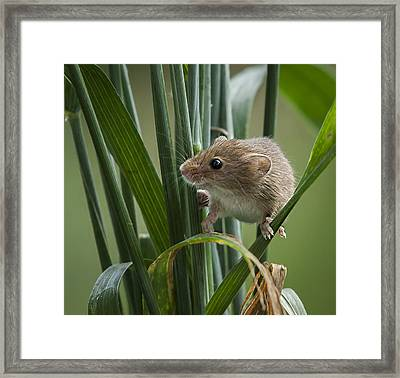 Harvest Mouse Close Up Framed Print by Philip Pound