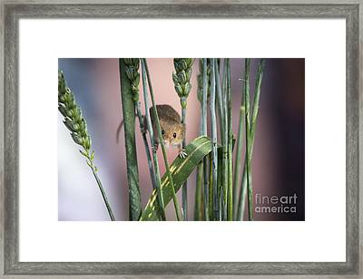 Harvest Mouse In Grass Framed Print by Philip Pound