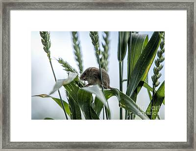 Harvest Mouse On Stalks Of Grass Framed Print by Philip Pound
