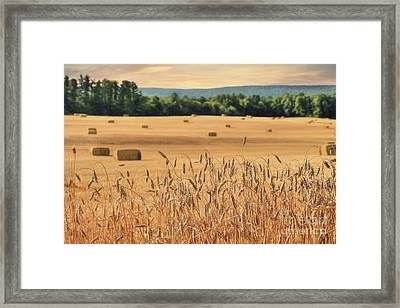 Harvest Of Gold Framed Print by Lori Deiter