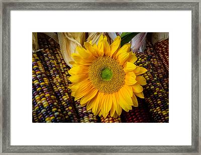 Harvest Sunflower Framed Print by Garry Gay