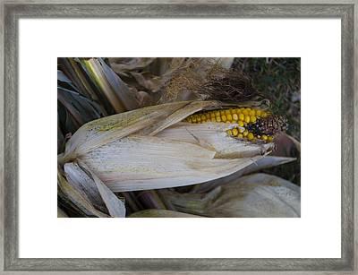 Harvest Time - Corn Framed Print