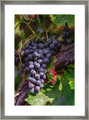 Harvest Time In Palava Vineyards Framed Print by Jenny Rainbow