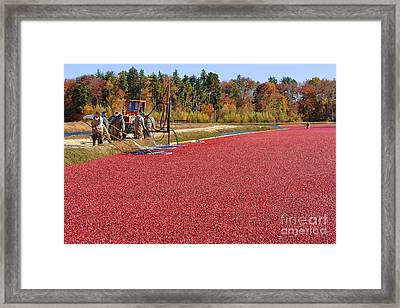 Harvesting Cranberries Framed Print