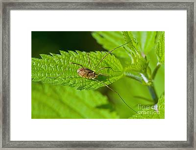 Harvestman Framed Print by Steen Drozd Lund