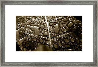 Havana Corojo Tobacco Leaf Framed Print by Frank Tschakert