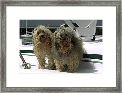 Havanese Dogs Framed Print by Sally Weigand