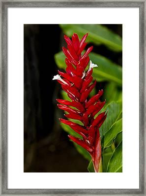 Hawaii Flora 19 Framed Print by Charlie Osborn