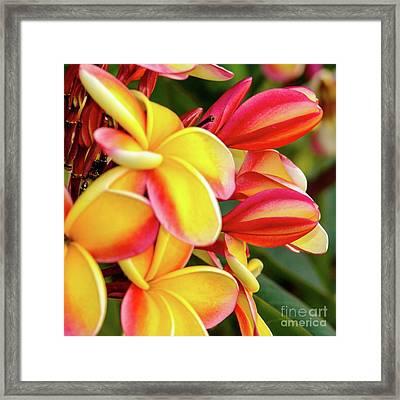 Hawaii Plumeria Flowers In Bloom Framed Print