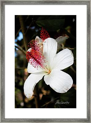 Framed Print featuring the photograph Hawaiian Hibiscus  by Joann Copeland-Paul
