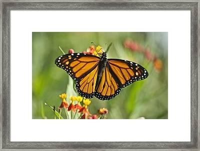 Hawaiian Monarch 3 Framed Print by Michael Peychich