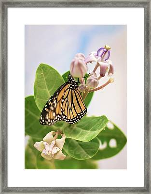 Framed Print featuring the photograph Hawaiian Monarch by Heather Applegate