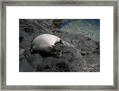 Hawaiian Monk Seal Ilio Holo I Ka Uana Framed Print by Sharon Mau
