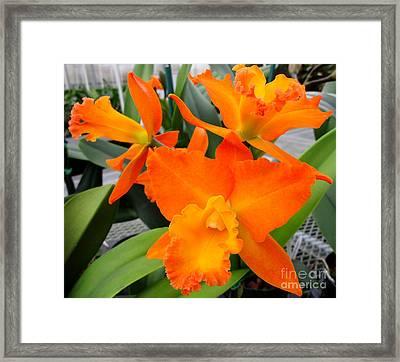 Hawaiian Orchid 17 Framed Print