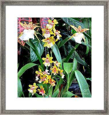 Hawaiian Orchid 36 Framed Print