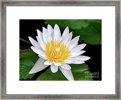 Hawaiian White Water Lily Framed Print by Sue Melvin