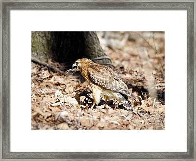 Hawk And Gecko Framed Print by George Randy Bass