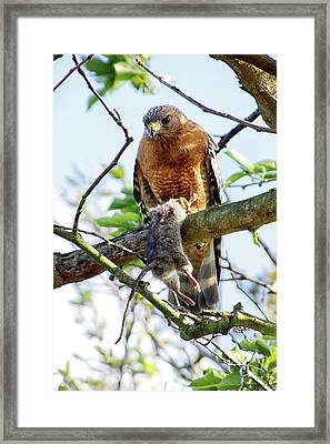 Hawk And Mouse Framed Print