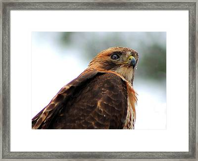 Framed Print featuring the photograph Hawk by Bruce Patrick Smith