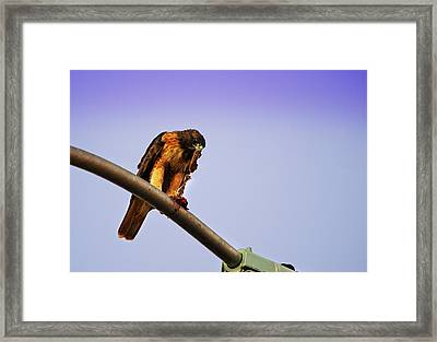 Hawk Eating Framed Print